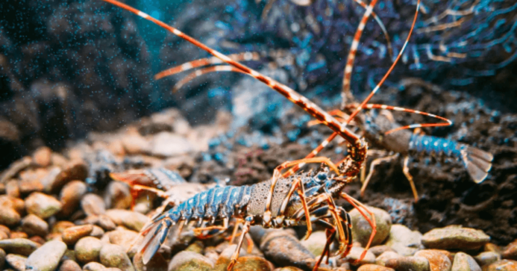 lobsters fighting